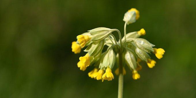 Cowslip Spring Flower Pointed Flower Flowe