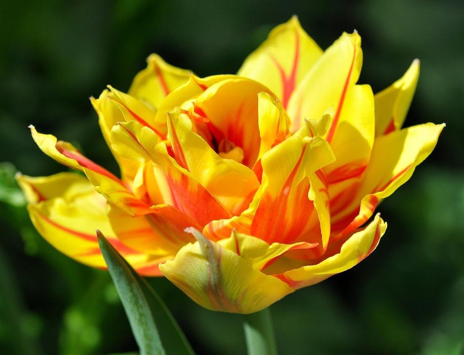 photo gratuite: tulipe, fleur, magnifique - image gratuite sur