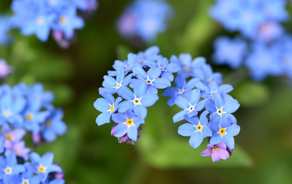 Forget Me Not Flower Flowers Free Photo On Pixabay