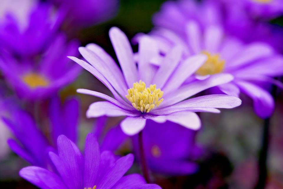 free photo  balkan anemone  flower  purple - free image on pixabay