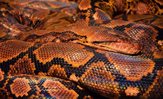 Snake, Python, Reptile, Animal