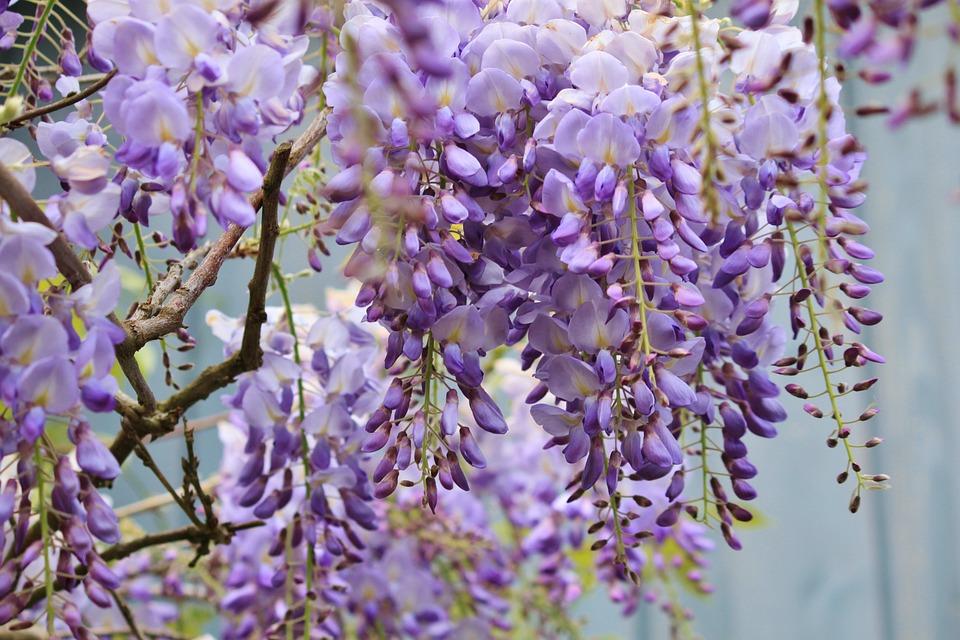 Wisteria, Blue Rain, Flowers, Climber Plant, Umbel