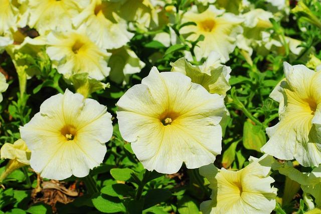 Free Photo: Petunia, Yellow Flower