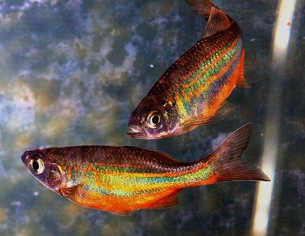 魚, 虹, ダニオ, 泳ぐ, スケール, 水, 魚座, 水泳, 水族館, マクロ