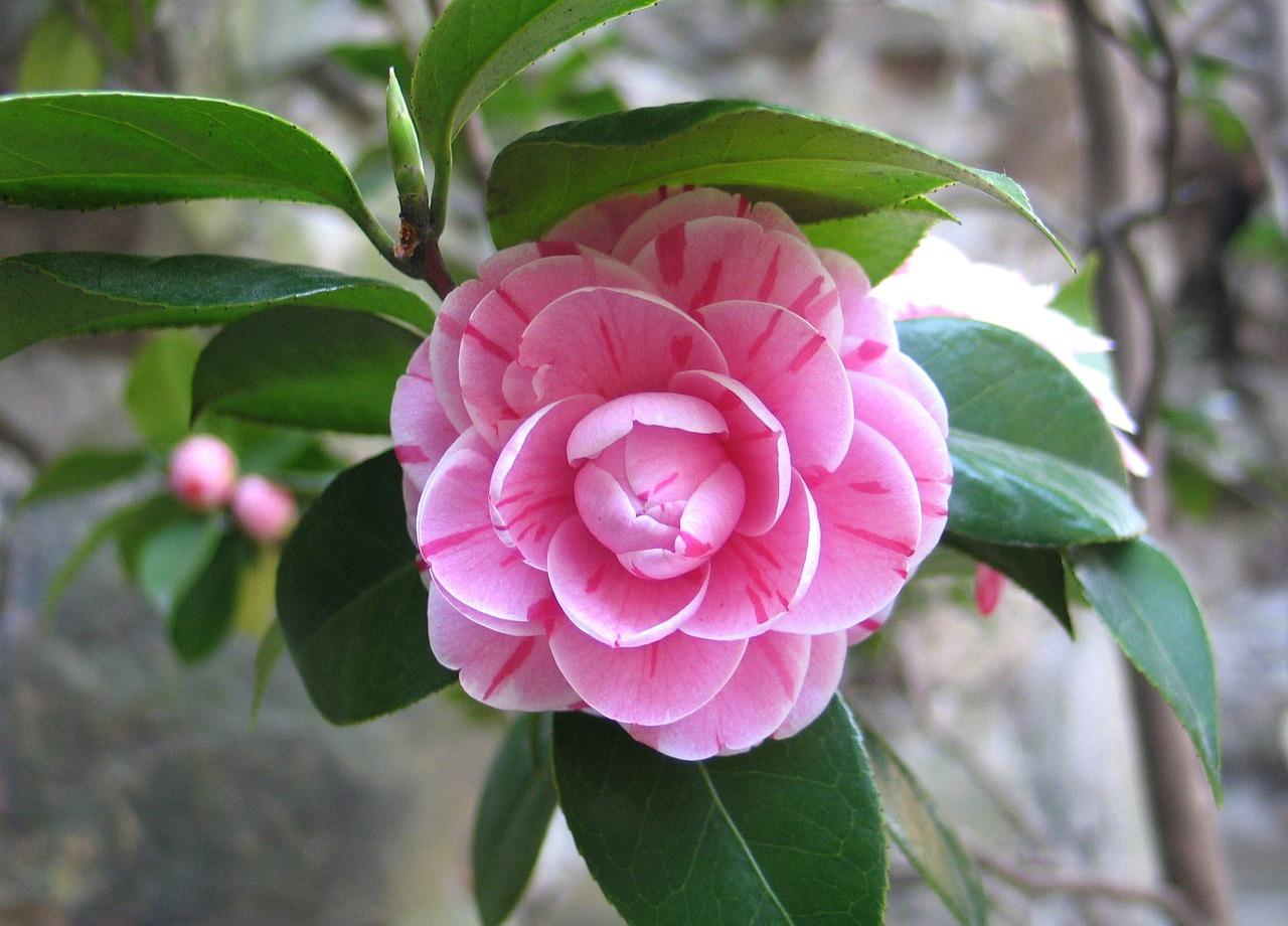фото цветка камелия скидки