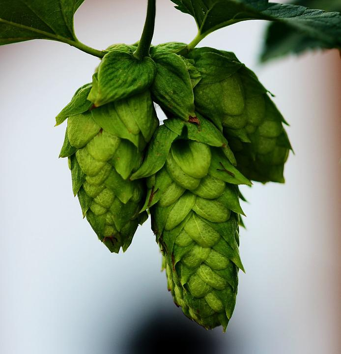Image result for beer hops hd