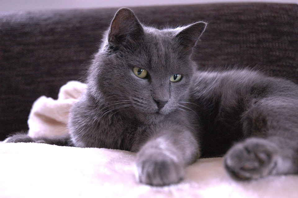 British Blue Cat Fur