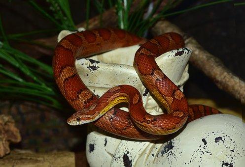 Snake Natter Corn Snake Reptile Scale Terr