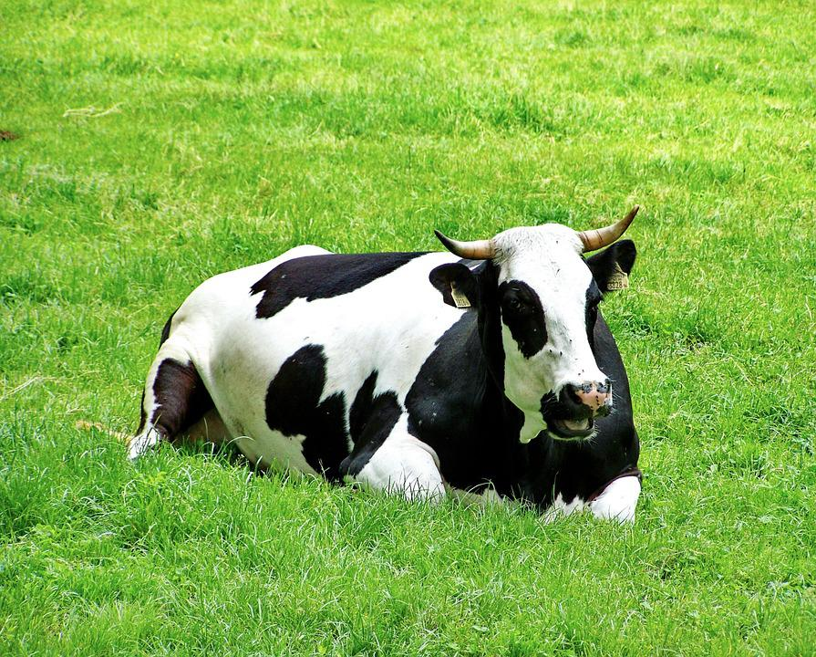 black and white cows images pixabay download free pictures