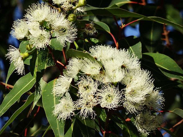 free photo eucalyptus flower free image on pixabay 777903. Black Bedroom Furniture Sets. Home Design Ideas