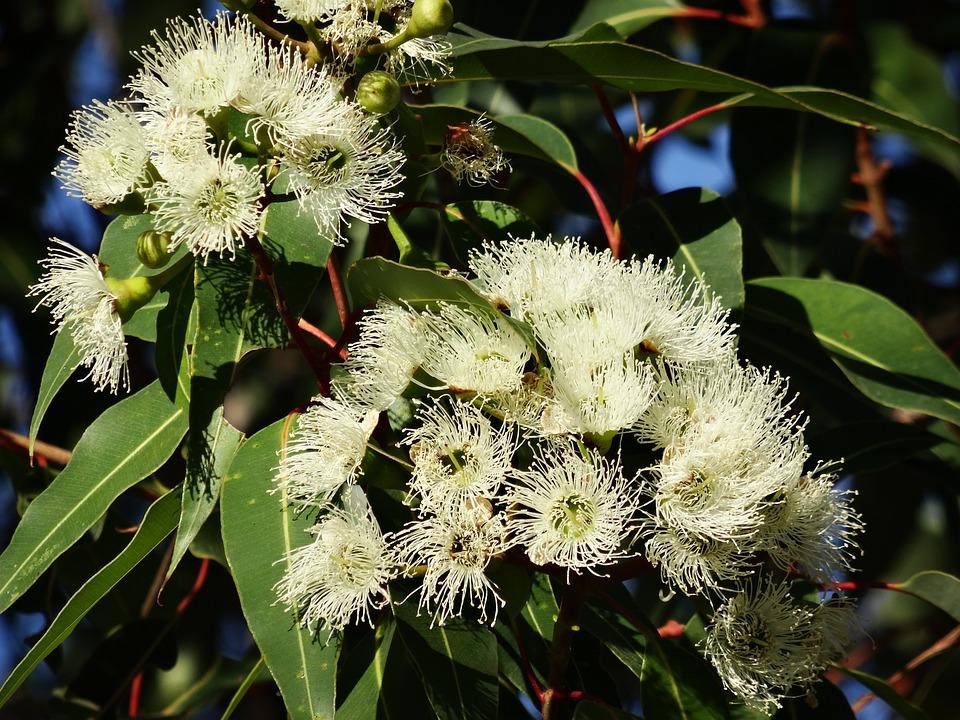 Eucalyptus Flower, Australian Eucalyptus