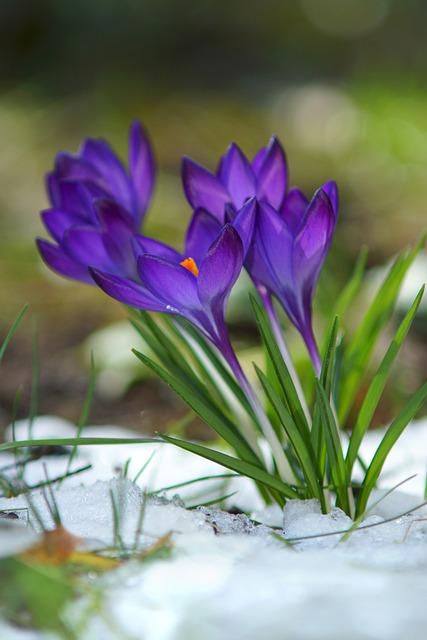 Crocus Flowers Snow 183 Free Photo On Pixabay