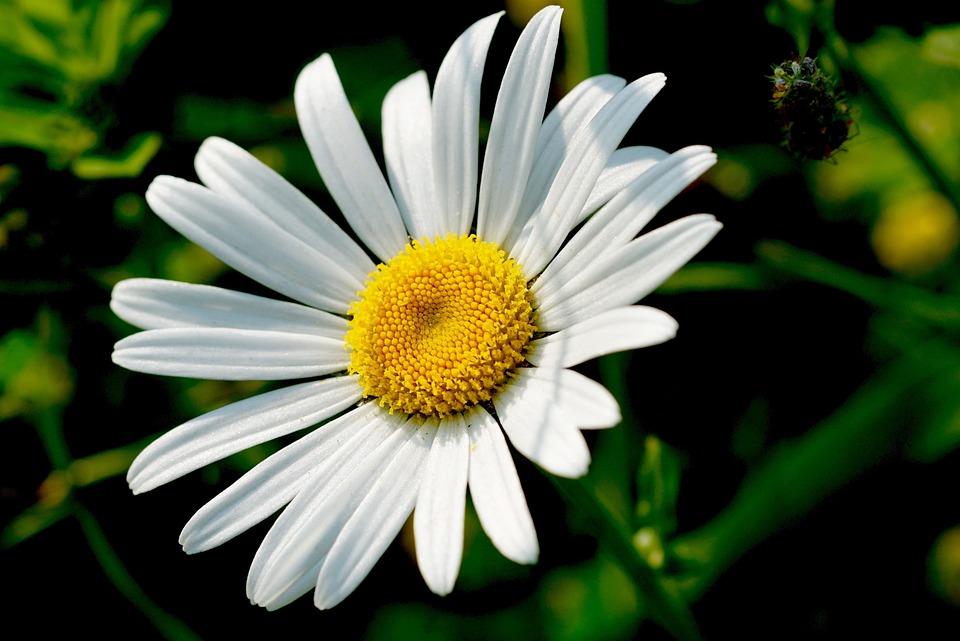 Fleurs marguerite - Image fleur marguerite ...