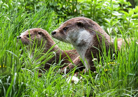 Otter, Animals, Water, Meadow, Care