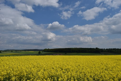 Oilseed Rape, Nature, Yellow, Spring