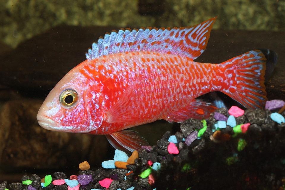 Cichlid Fish Peacock · Free photo on Pixabay