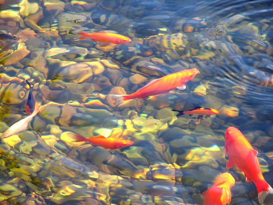 Koi fish pond free photo on pixabay for Freshwater koi fish