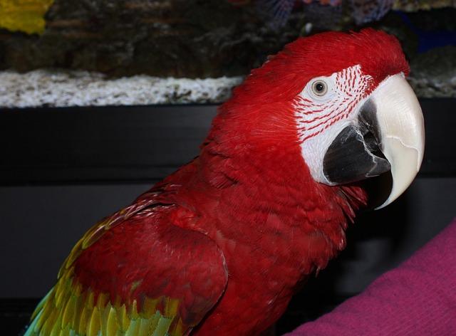 Говорящий попугай красный