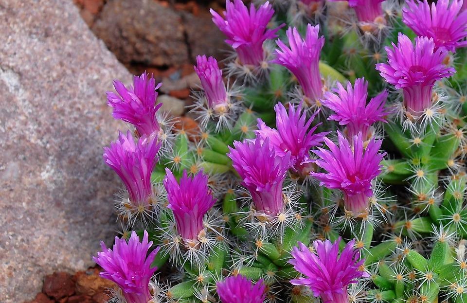 Photo Gratuite Cactus Fleur Fleur De Cactus Image