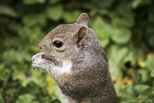 Squirrel, Rodent, Animal, Nature