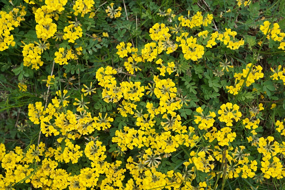 Horseshoe vetch flowers yellow free photo on pixabay horseshoe vetch flowers yellow spring aroma mightylinksfo