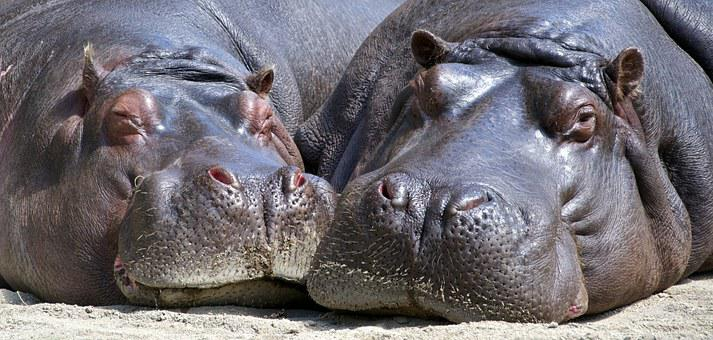 Hippo, Mammal, Wildlife, Nature, Wild