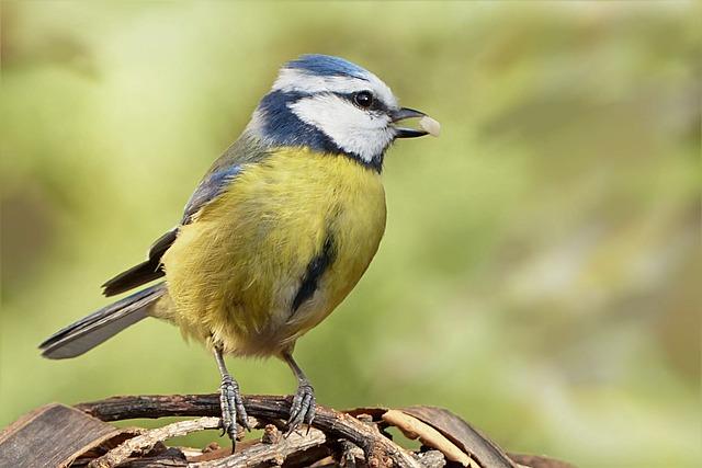 Free photo: Bird, Blue Tit, Young Animal - Free Image on ...