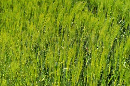 Barley, Barley Field, Agriculture