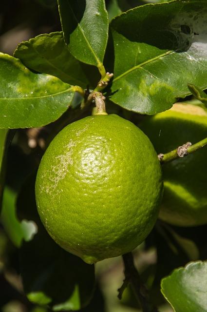 lime tahitian citrus  u00b7 free photo on pixabay