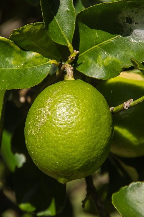 Lime Tahitian Citrus 183 Free Photo On Pixabay