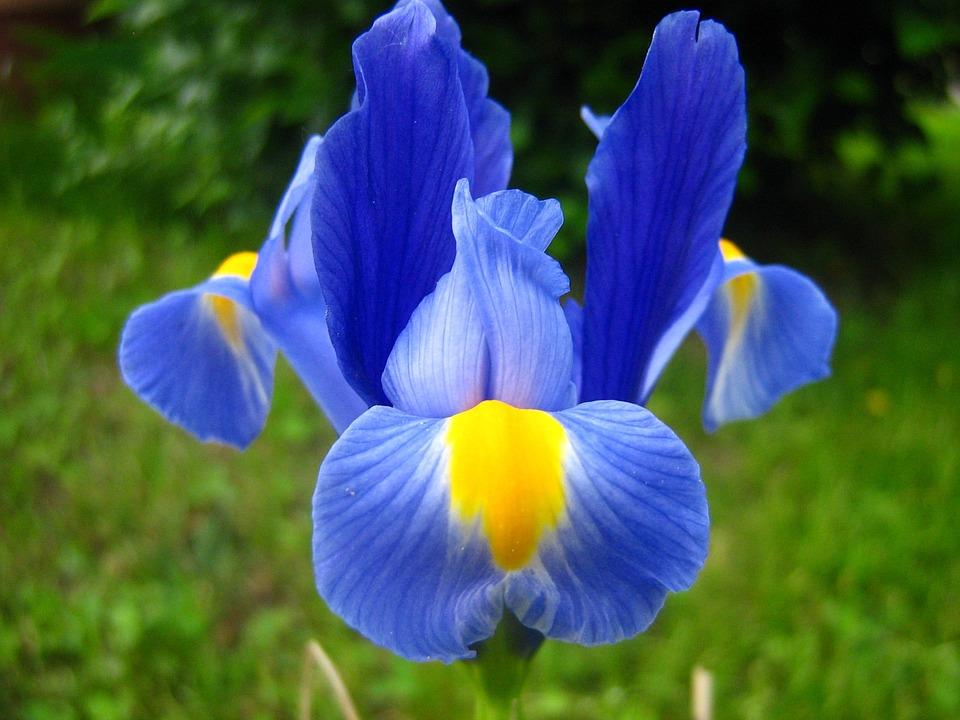free photo flower iris purple iris free image on. Black Bedroom Furniture Sets. Home Design Ideas