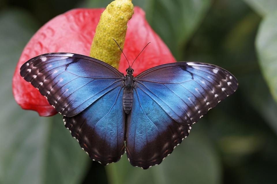 Morpho Azul, Mariposa, Selva, Morpho Peleides, Cerrar
