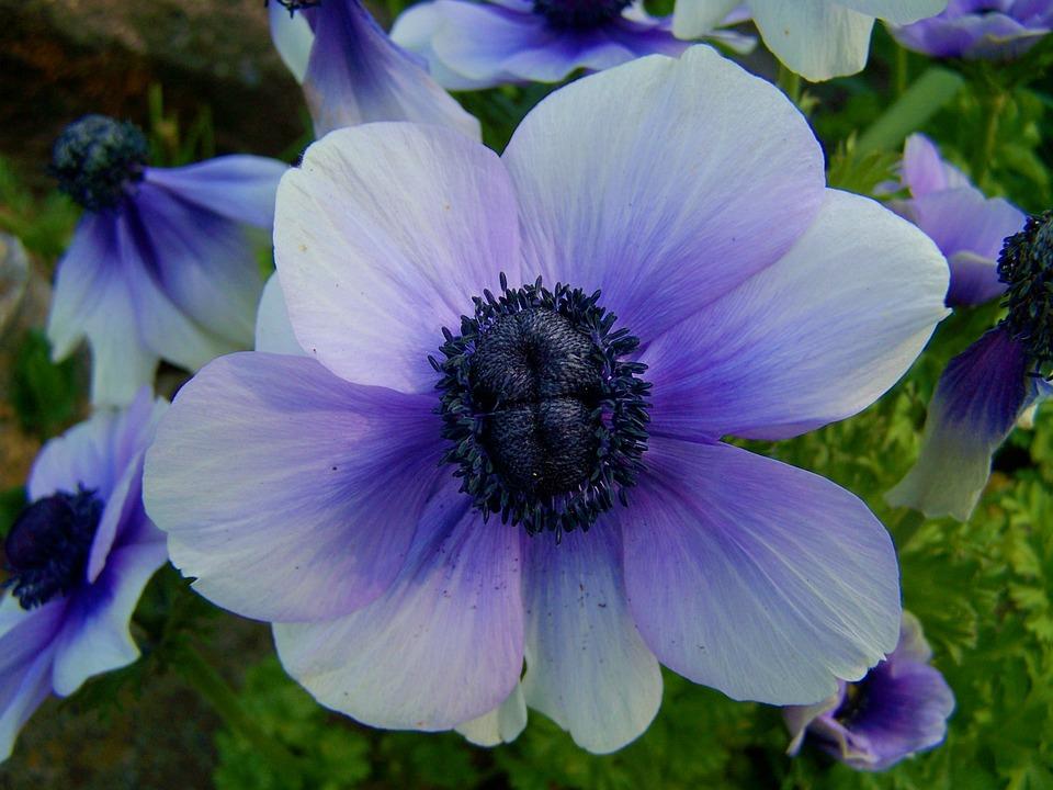 blue anemone flower online image arcade. Black Bedroom Furniture Sets. Home Design Ideas