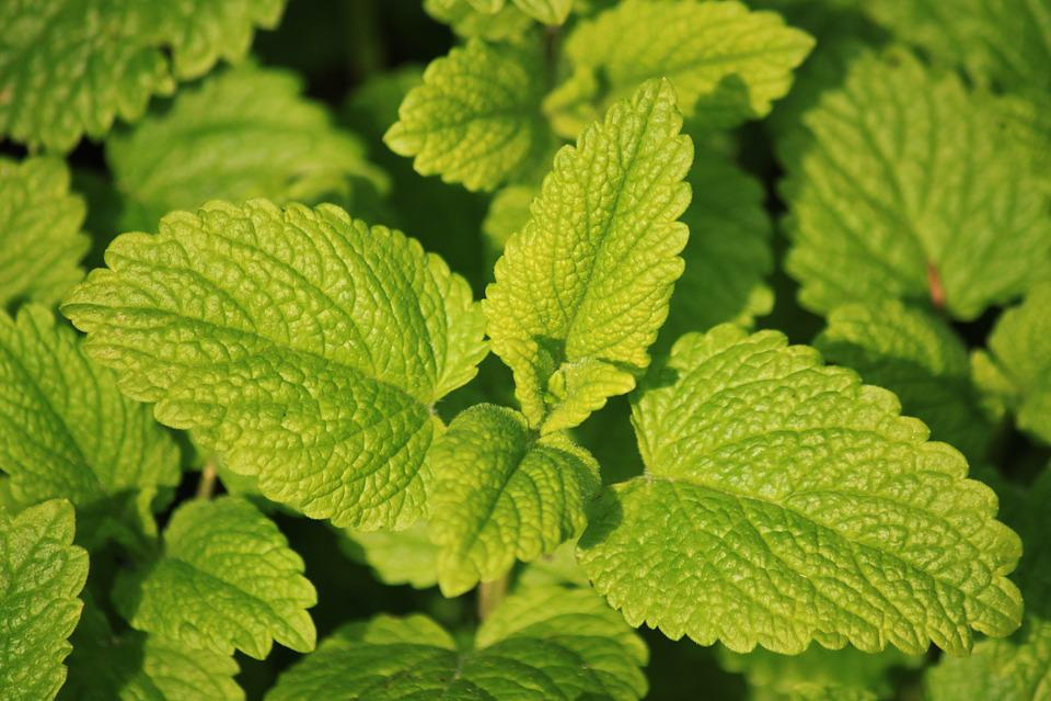 Lemon Balm, Herbs, Herb Garden, Kitchen Herb, Food