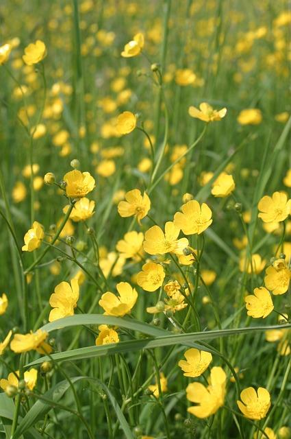 Photo gratuite bouton d 39 or fleur a jaune image for 20 plantas ornamentales