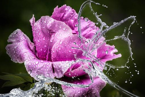 Image%20result%20for%20beautiful%20rose