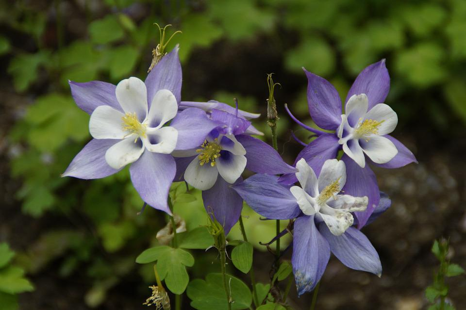 columbine  free images on pixabay, Beautiful flower