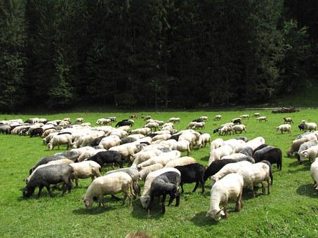 Tatry, Mountains, Poland, Goats, Sheep