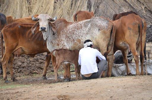 Mammals, India, Cows, Milking, Farmer