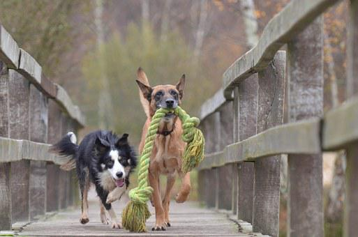 Malinois And Border Collie