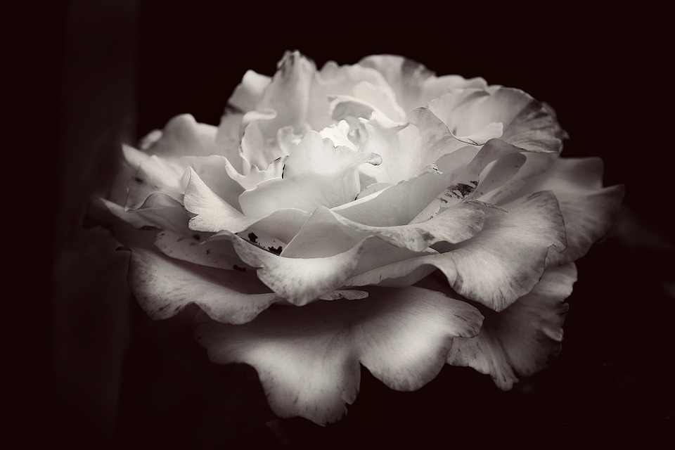 Rose black and white flower free photo on pixabay rose black and white flower rose bloom background mightylinksfo