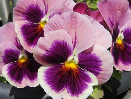 Bratek Bratki Fioletowy Kwiat Płatek Altów