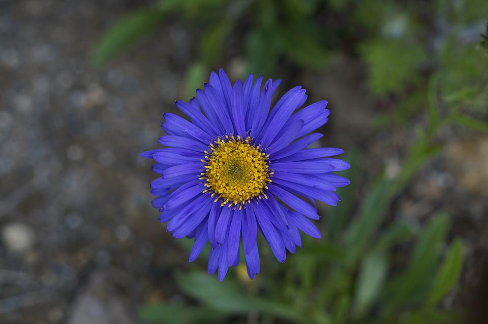 free photo aster, flower, blossom, bloom  free image on pixabay, Natural flower