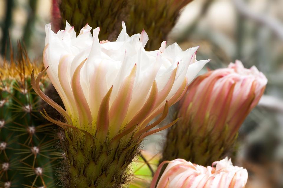 photo gratuite: cactus, fleur, blanc, rose, plantes - image