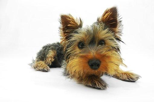 Yorkshire Terrier, Dog, Terrier, Pet
