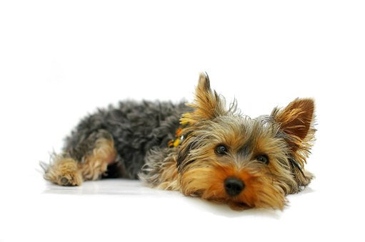 yorkshire terriers for free
