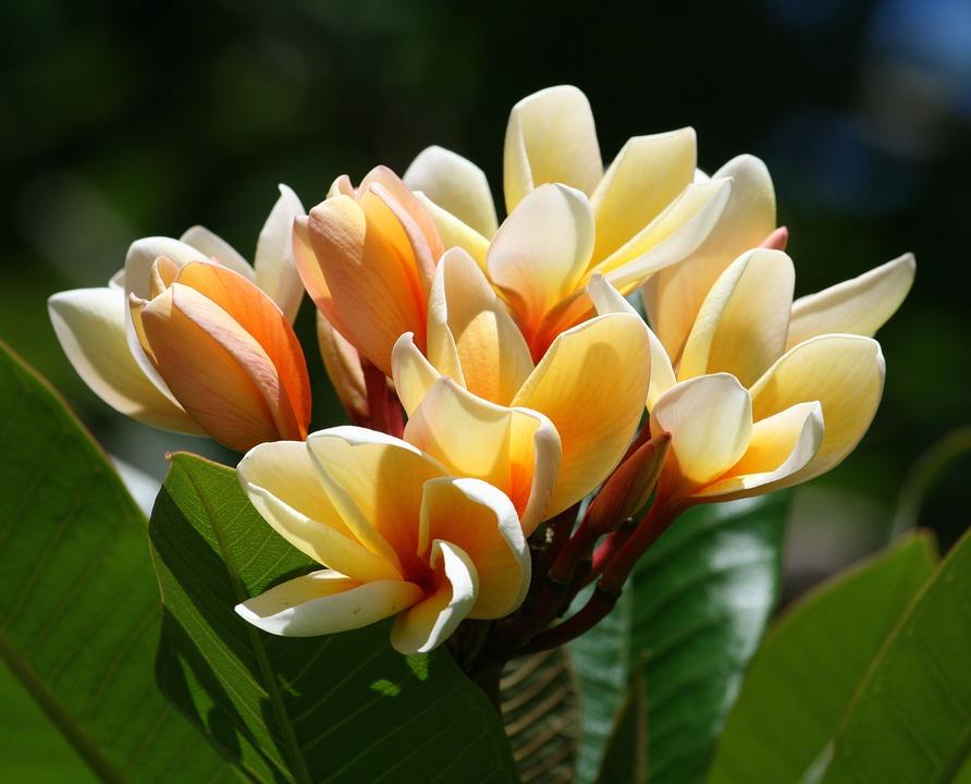 free photo plumeria flowers tropical exotic free image on pixabay 790613. Black Bedroom Furniture Sets. Home Design Ideas