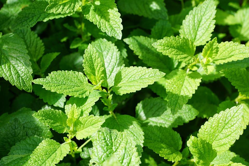 무료 사진: 박하, 녹색, 부엌 허브, 나뭇잎, Mentol, 허브, 치유 ...