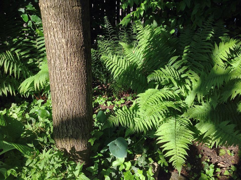 Farn Garten Natur Kostenloses Foto Auf Pixabay