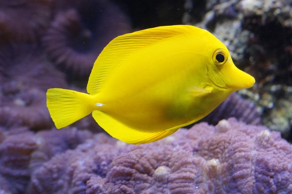Zitronen-Doktorfisch, Zitronendoktorfisch, Doktorfisch